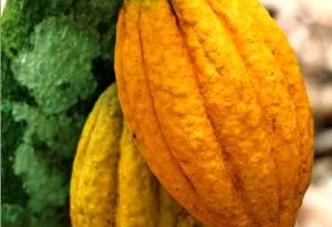 La provenienza dei migliori cacao del mondo