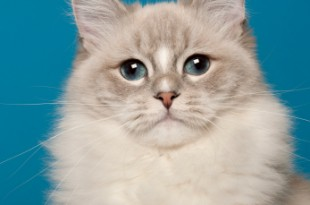 gatto cioccolato